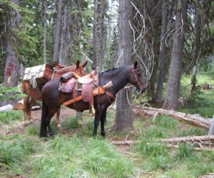 Moose hunt in Idaho