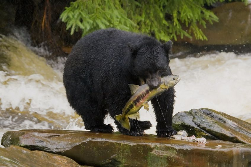 Fall Bear Hunting Is Different than In Spring