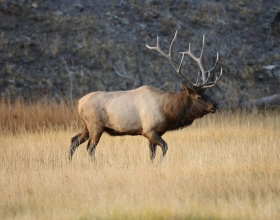 Elk Hunts in Fall and Winter at Silver Spur Lodge