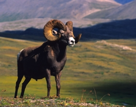 Beginner's Guide to Field Judging Bighorn Sheep
